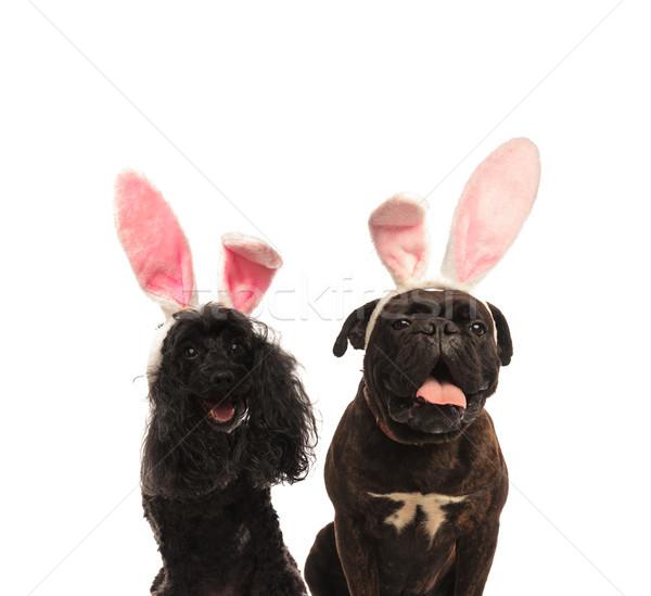 çok güzel boksör kaniş köpekler Paskalya Stok fotoğraf © feedough