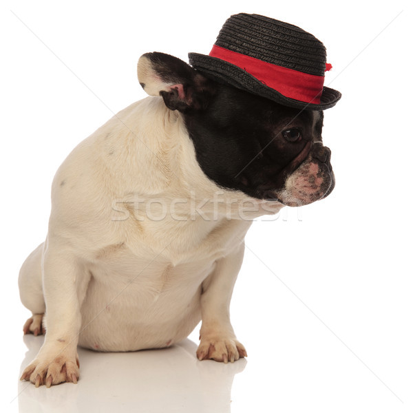 curious french bulldog wearing a hat looks to side Stock photo © feedough