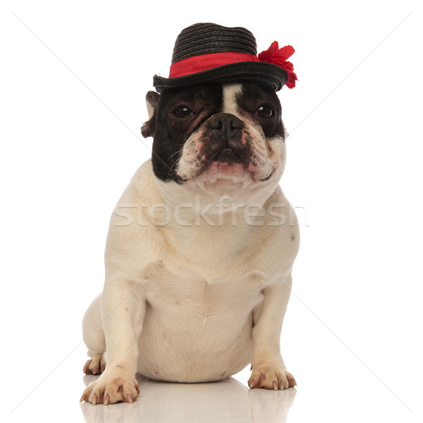 tired french bulldog with black hat sitting down Stock photo © feedough