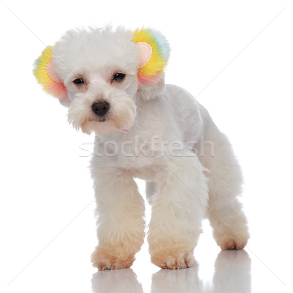 lovely white furry bichon wearing colorful ears standing Stock photo © feedough
