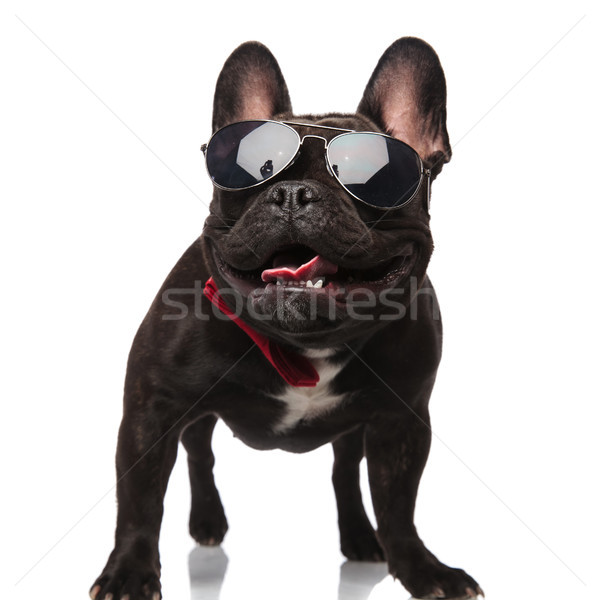 classy french bulldog with sunglasses panting and looking up Stock photo © feedough