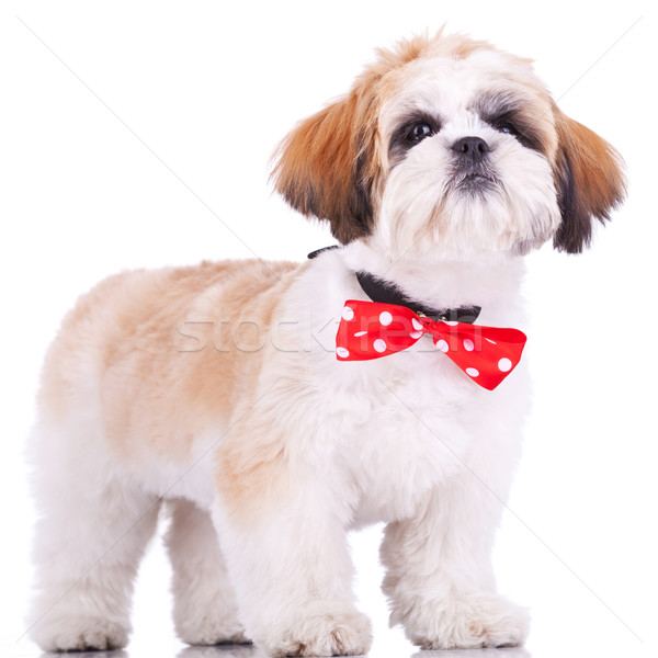 shih tzu puppy, wearing a red neck bow Stock photo © feedough