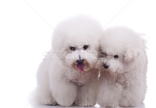 two happy bichon frise dogs Stock photo © feedough