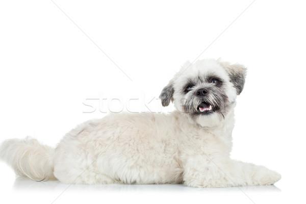 Sevimli küçük havanese köpek yavrusu oturma bakıyor Stok fotoğraf © feedough