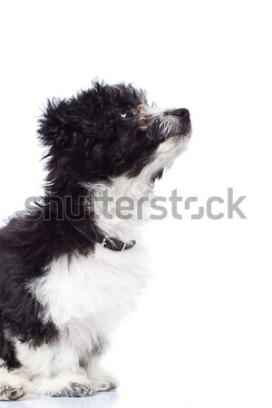 Curios havanese bichon looking up Stock photo © feedough