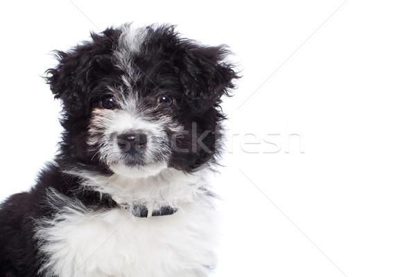 Sevimli havanese köpek yavrusu portre yalıtılmış beyaz Stok fotoğraf © feedough