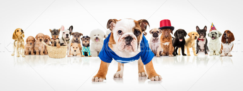english bulldog standing in front of  dogs pack Stock photo © feedough