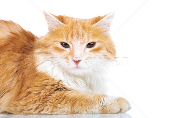 orange cat with supicious look Stock photo © feedough