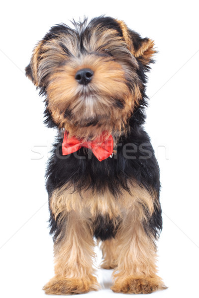 little puppy dog standing up  and wears bowtie  Stock photo © feedough