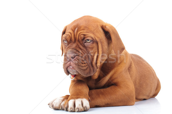 curious french mastiff puppy looks to side while lying down  Stock photo © feedough