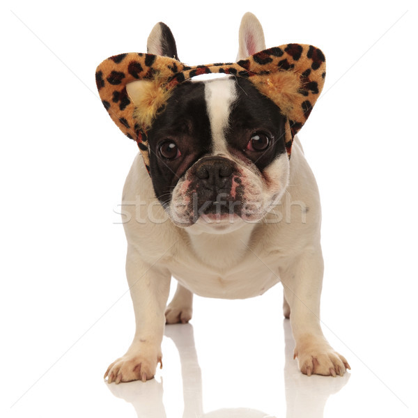 adorable french bulldog wearing leopard ears headband Stock photo © feedough