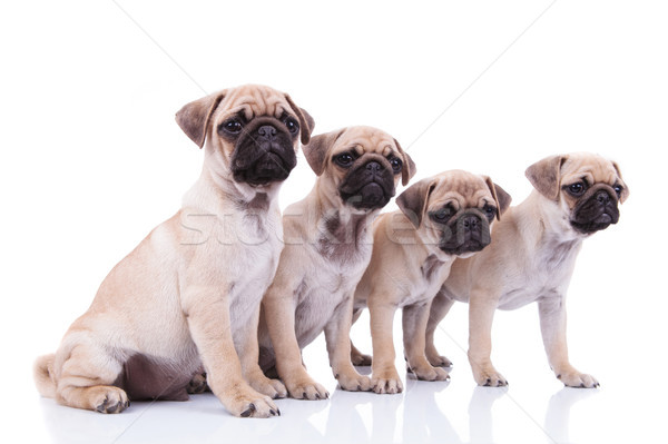 side view of four cute pugs looking to side Stock photo © feedough