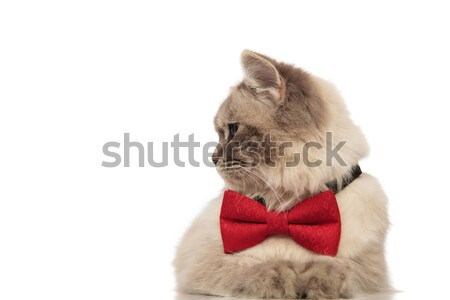 curious cat lying with red bowtie turns head to side Stock photo © feedough