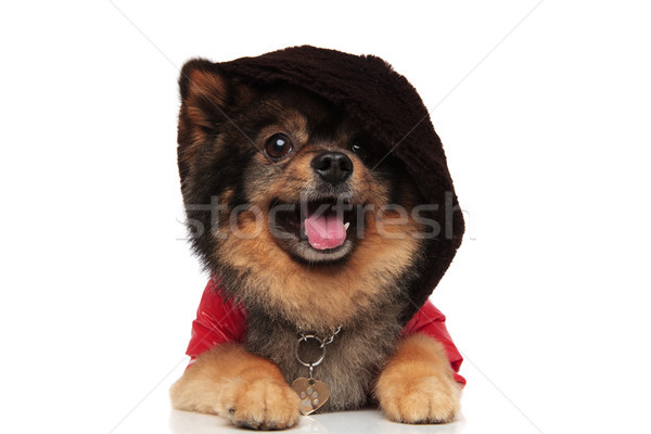 adorable brown pom with red jacket and hoodie lying Stock photo © feedough
