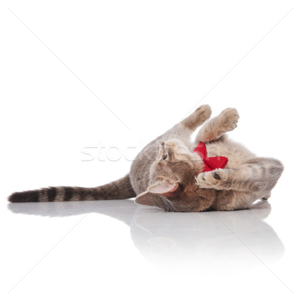 adorable grey cat wearing red bowtie lying on its back Stock photo © feedough