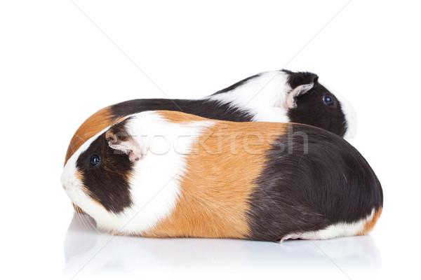 Stok fotoğraf: Iki · sevimli · Gine · domuzlar · yalıtılmış · beyaz