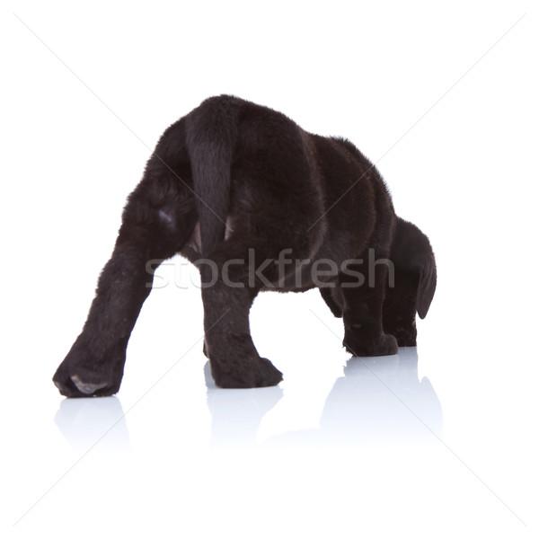 Zwarte labrador retriever puppy Maakt een reservekopie lab witte Stockfoto © feedough
