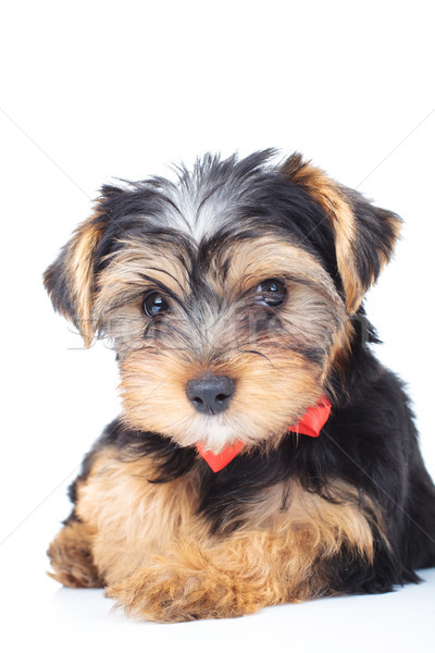 little yorkshire terrier laying down on white background Stock photo © feedough