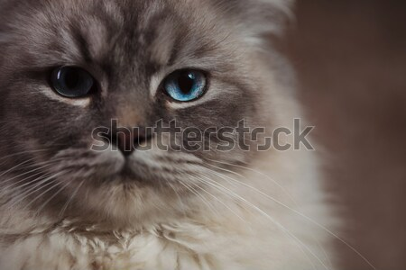 closeup picture of  a cat with blue eyes Stock photo © feedough