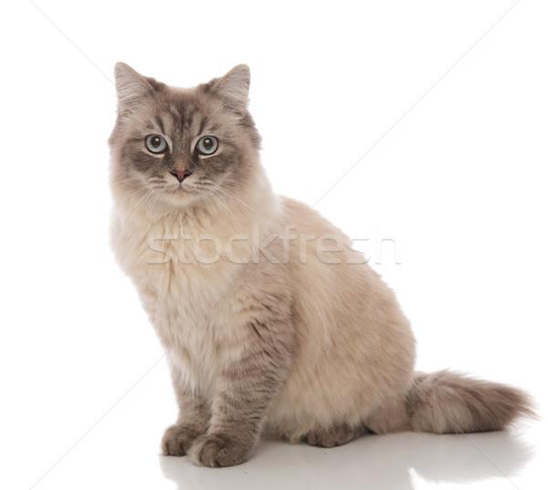 愛らしい グレー 猫 水色 目 座って ストックフォト © feedough
