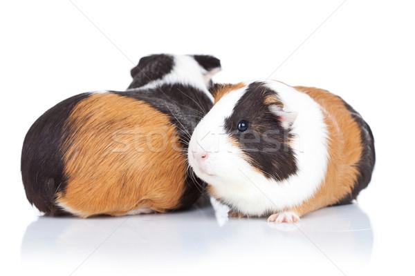 Stok fotoğraf: Iki · çok · güzel · Gine · domuzlar · beyaz · arka · plan