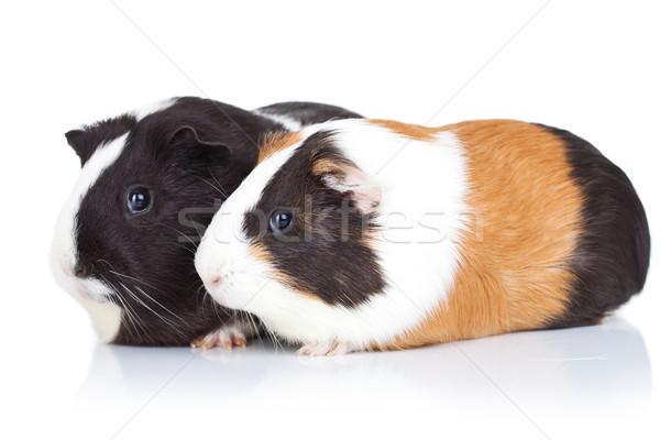 Stok fotoğraf: Iki · sevimli · Gine · domuzlar · yalıtılmış · yandan · görünüş
