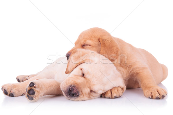 Dos adorable labrador retriever cachorro perros dormir Foto stock © feedough