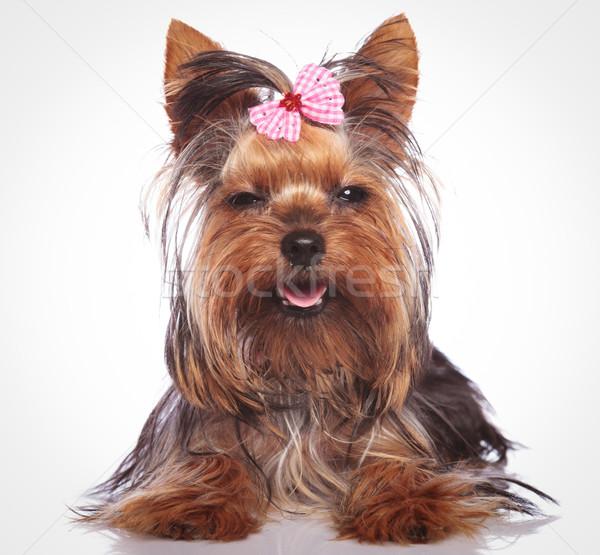 Küçük yorkshire terriyer köpek yavrusu köpek bakıyor Stok fotoğraf © feedough