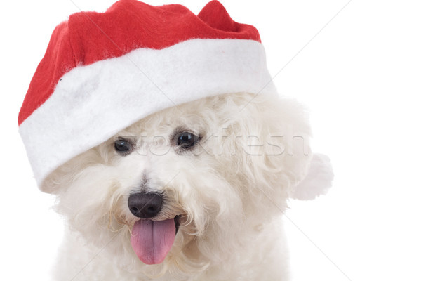 head of a happy santa bichon frise Stock photo © feedough