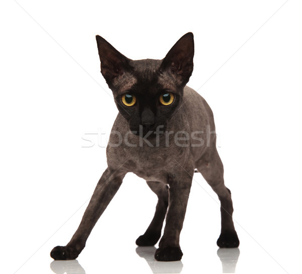 Adorabile piccolo grigio cat piedi Foto d'archivio © feedough