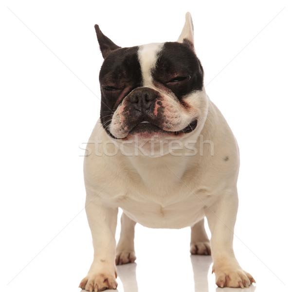 adorable sleepy french bulldog standing Stock photo © feedough