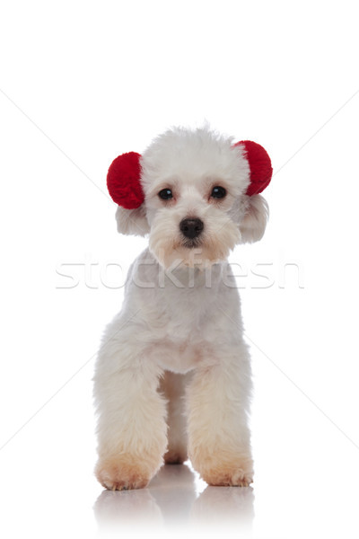 cute little white bichon standing and wearing red earmuffs Stock photo © feedough