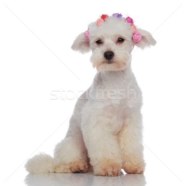 seated furry bichon looking to side while wearing flowers headba Stock photo © feedough