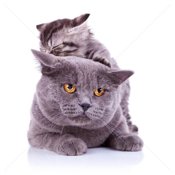 cute playful cats Stock photo © feedough