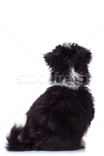 Atrás havanese mirando perro retrato funny Foto stock © feedough