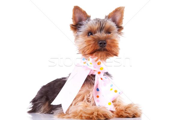 Foto d'archivio: Cute · cucciolo · cane · indossare · nastro · collo