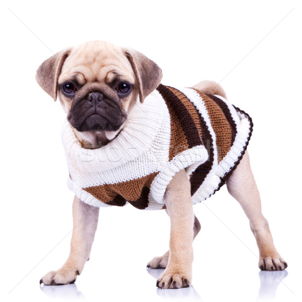 standing mops dog wearing clothes  Stock photo © feedough