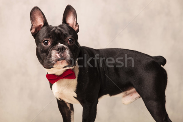 portrait of curious black and white french bulldog  Stock photo © feedough