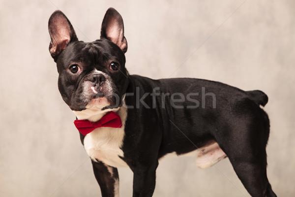 Stockfoto: Portret · nieuwsgierig · zwart · wit · frans · bulldog · kant