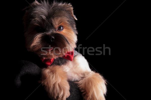 Haletant élégante yorkshire terrier rouge Photo stock © feedough