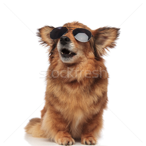 surprised brown dog with sunglasses looks up to side Stock photo © feedough