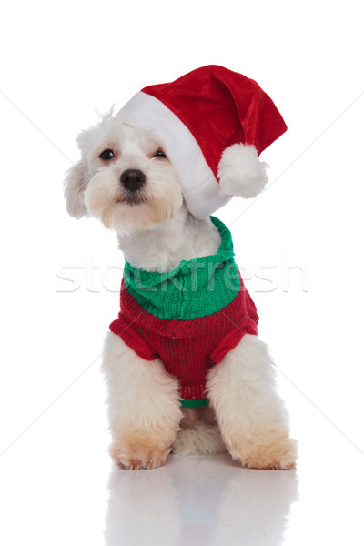 funny little bichon with santa cap on one ear sitting Stock photo © feedough