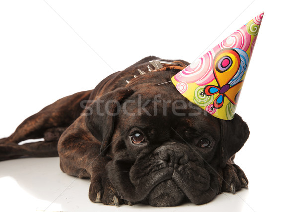 cute black boxer with birthday hat lying Stock photo © feedough