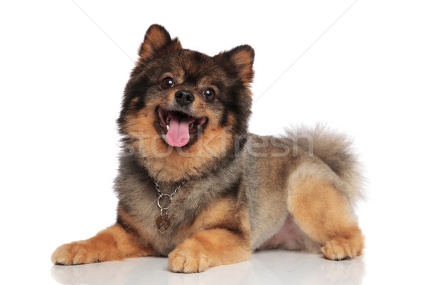 side view of lying brown pomeranian panting and looking up Stock photo © feedough