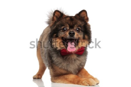 excited pomeranian with red bowtie lying on front legs Stock photo © feedough