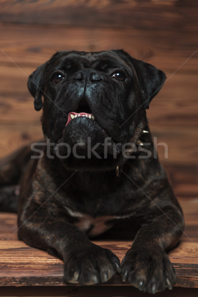curious lying boxer with teeth exposed looks up Stock photo © feedough