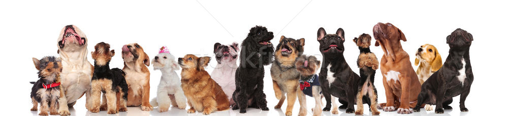 cute dog team is curious and look up Stock photo © feedough