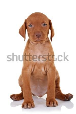 cute baby vizsla dog  Stock photo © feedough