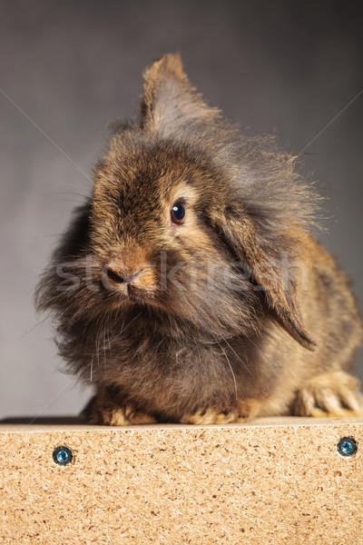 Portret brązowy lew głowie królik bunny Zdjęcia stock © feedough