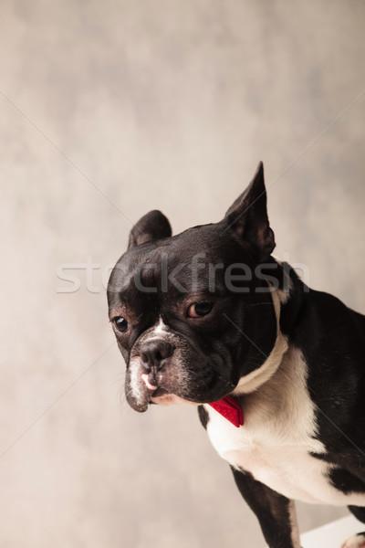close portrait of sad elegant french bulldog wearing a red bowti Stock photo © feedough